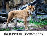 ligr. a hybrid of a lion and a... | Shutterstock . vector #1008744478