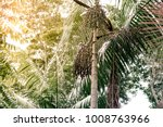 acai berry tree in wild forest... | Shutterstock . vector #1008763966