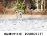 portrait of purebred west...   Shutterstock . vector #1008808954