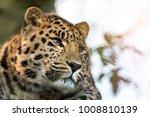 young adult amur leopard. a... | Shutterstock . vector #1008810139