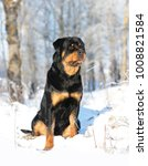 young purebred rottweiler  in... | Shutterstock . vector #1008821584