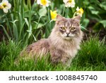 street cat in  flower bed. gray ... | Shutterstock . vector #1008845740