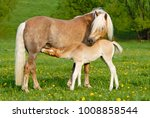 Haflinger Horses  A Cute...