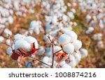 cotton fields ready for... | Shutterstock . vector #1008874216