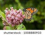 Monarch Butterfly Feeding On...