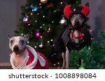 two american hairless terrier... | Shutterstock . vector #1008898084