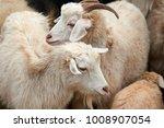 the domestic goat  capra...   Shutterstock . vector #1008907054