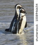 african penguins walk out of... | Shutterstock . vector #1008946654