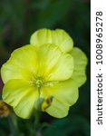 Small photo of Yellow flower Oenothera biennis (common evening-primrose, evening star, sun drop, weedy evening primrose, german rampion, hog weed, King's cure-all, fever-plant) in summer field, selective focus