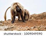 Small photo of A female is grooming a big male gelada baboon in the Semien Mountains National Park in the Amhara area in Ethiopia
