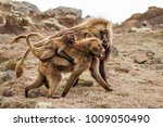 Small photo of Family gelada baboons in the Semien Mountains National Park in the Amhara area in Ethiopia