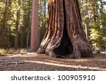 Gigantic Tree Trunk Of An...