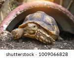 african spurred tortoise at... | Shutterstock . vector #1009066828