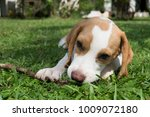 brown ears beagle dog  crouch... | Shutterstock . vector #1009072180