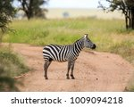the plains zebra  also known as ... | Shutterstock . vector #1009094218