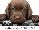 Stock photo sad puppy looks out of the box brown labored s puppy with sad eyes looks out of the box 100910773