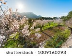 Flowering Almond Trees In The...