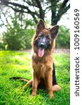 german shepherd in the park   | Shutterstock . vector #1009160569