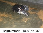 the sea turtle swims in the... | Shutterstock . vector #1009196239