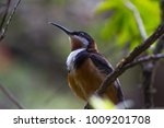 Small photo of Eastern Spinebill aka Acanthorhynchus tenuirostris male bird