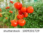 Beautiful Red Tomatoes On The...