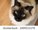 blue eyed siam lazzy feline pet ... | Shutterstock . vector #1009211170