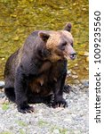 female grizzly bear on the bank ... | Shutterstock . vector #1009235560