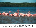 group of red flamingos at the... | Shutterstock . vector #1009242319