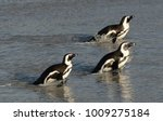 african penguins walk out of... | Shutterstock . vector #1009275184