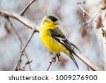 Male Lesser Goldfinch  Spinus...