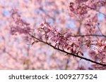 beautiful wild himalayan cherry ... | Shutterstock . vector #1009277524