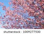 beautiful wild himalayan cherry ... | Shutterstock . vector #1009277530