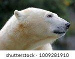 polar bear close up   Shutterstock . vector #1009281910
