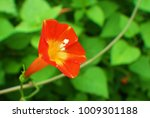 Small photo of A flower of Ipomoea coccinea