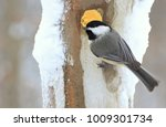 A Black  Capped Chickadee At...
