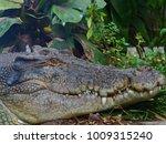 ferocious powerful saltwater... | Shutterstock . vector #1009315240