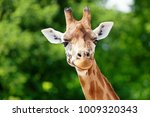close up of a cute giraffe in... | Shutterstock . vector #1009320343