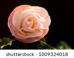 Stock photo close up tiny pink rose with dark background 1009324018