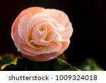 Close Up Tiny Pink Rose With...