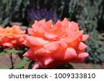 a pair of roses with a slightly ... | Shutterstock . vector #1009333810