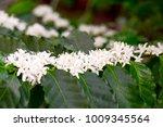 coffee flowers on   tree | Shutterstock . vector #1009345564