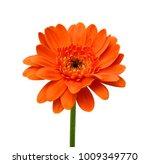 beautiful orange gerbera flower ... | Shutterstock . vector #1009349770