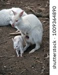 Small photo of the albino wallaby joey is exploring his environment