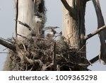 pair of great blue heron chicks ... | Shutterstock . vector #1009365298