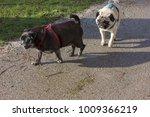 Pug Mops Named Adelheid And...