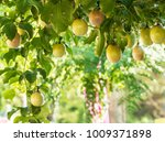 Small photo of Passion fruit image