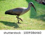 Small photo of Hadeda ibis (Bostrychia hagedash) on the lawn of the Sun City casino complex in South Africa