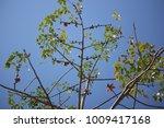leaf of bombax ceiba tree with... | Shutterstock . vector #1009417168