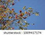 leaf of bombax ceiba tree with... | Shutterstock . vector #1009417174