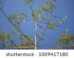 leaf of bombax ceiba tree with... | Shutterstock . vector #1009417180
